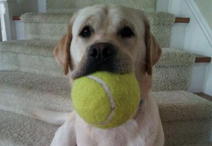 Pet love - English Labrador with tennis ball - Endless Mountain Labradors