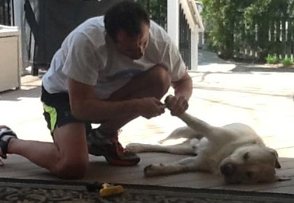 Nails being trimmed on an English Labrador