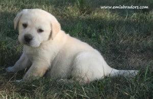Paige pup- Endless Mt. Labradors