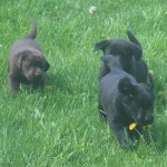Erica x Mackie pups- Endless Mt. Labradors