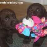 playing puppies- Endless Mt. Labradors
