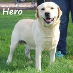Hero- Endless Mt. Labradors