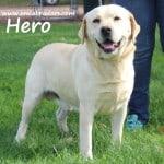 Hero- Endless Mt. Labradors