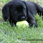 Mackie puppy- Endless Mt. Labradors