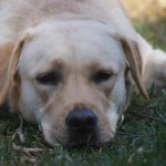 Gracie- Endless Mt. Labradors