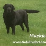 Mackie- Endless Mt. Labradors