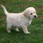 yellow puppy- Endless Mt. Labradors