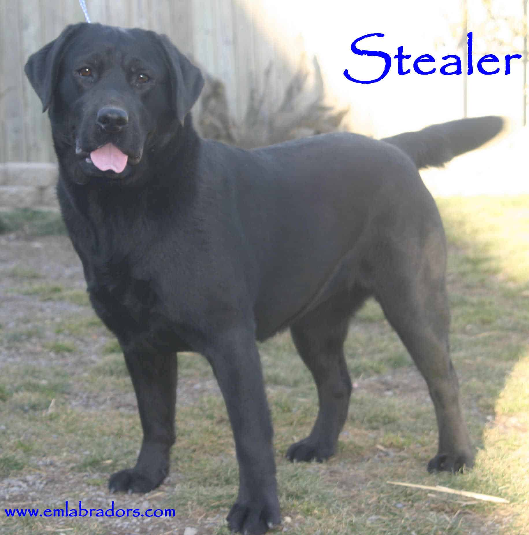 Stealer- Endless Mt. Labradors