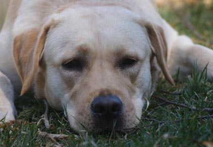 Hip Dysplasia Labrador