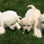Jane x Scotch pups- Endless Mt. Labradors