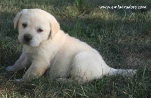 Paige pup- Endless Mt. Labradors