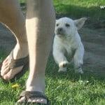 romeo pups chasing