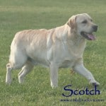 Scotch- Endless Mt. Labradors