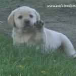 waiving romeo pup