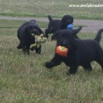jolene pups- endless mt. labradors