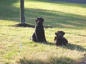 molly and megan at dog parks- Endless Mt. Labradors