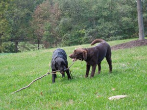 Molly and Megan at dog parks - Endless Mt. Labradors