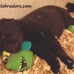 raven pup- endless mt. labradors