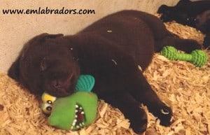 raven pup- endless mt. labradors