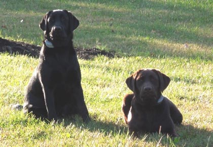 dog parks - two labradors
