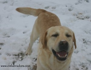 Scotch in the snow- Endless Mt. Labradors