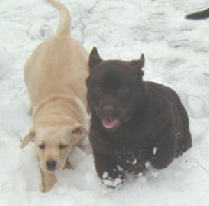 snow time- Endless Mt. Labradors