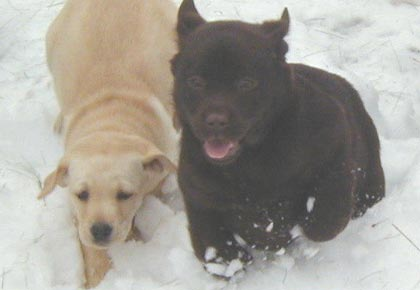 cold labradors running