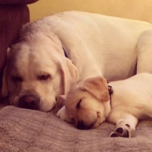 Lola and Nick- Endless Mt. Labradors
