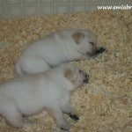 Babies- Endless Mt. Labradors