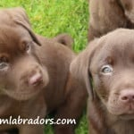 Chocolate Daizy x Devon puppies- Endless Mt. Labradors