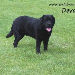 Devon- Endless MT. Labradors