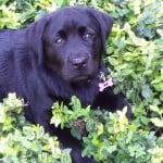 Josie (Daizy x Devon)- Endless Mt. Labradors
