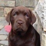 Norman (Daizy x Devon)- Endless Mt. Labradors