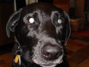 Endless Mountain Labradors - Black Labrador