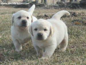 Lana pups- Endless Mt. Labradors