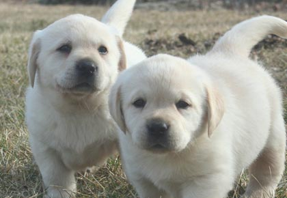 names for labradors