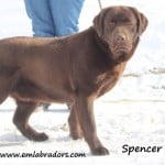 Spencer- Endless Mt. Labradors