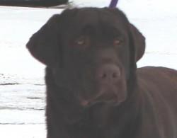 Reese- Endless Mt. Labradors