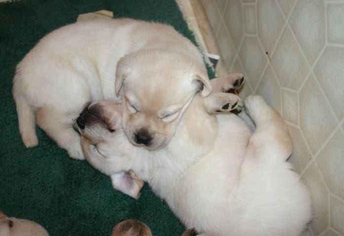 Sweet sleeping puppies- Endless Mountain Labradors