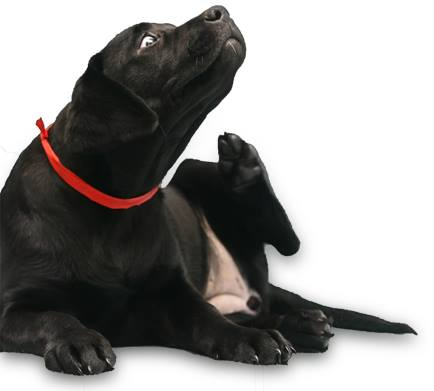 black labrador scratching and itching