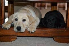 Rocket and Jet laying under the coffee table- Endless Mt. Labradors