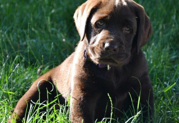 Roscoe- Endless Mt. Labrador puppy