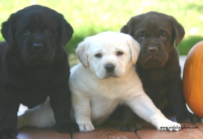 three pups- Endless Mt. Labradors