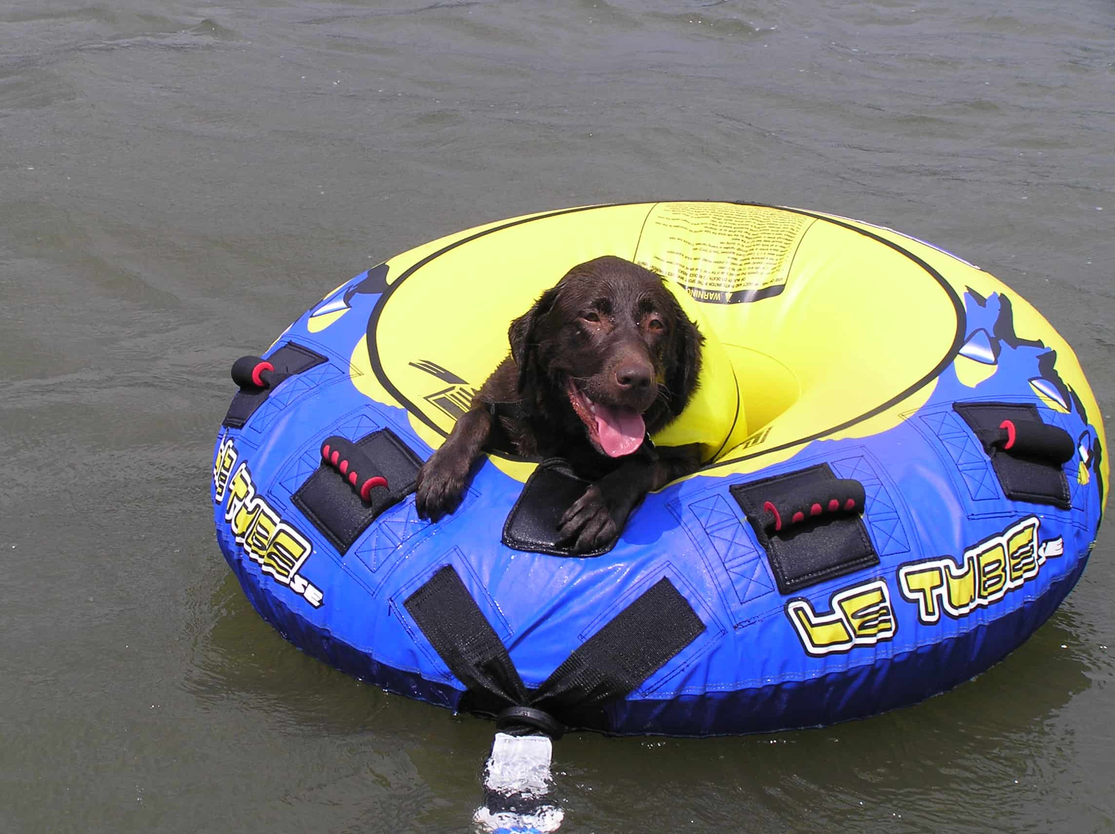 Chocolate Labrador in a water tube