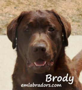 Chocolate Lab Male- Brody- Endless Mt. Labradors