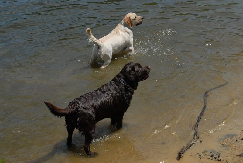 Two Labradors in the lake