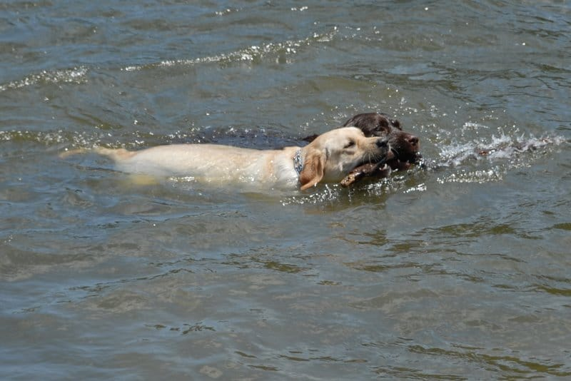 Two dogs retrieving a stick in the lake