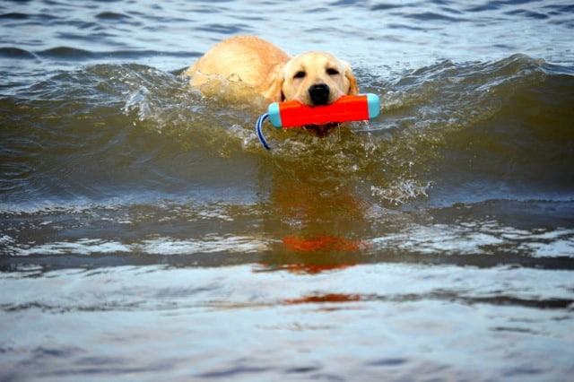 Yellow Lab retrieving in the ocean