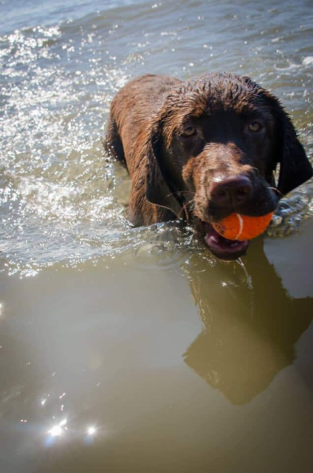 Lily (aria x preston) retrieving her ball in the water