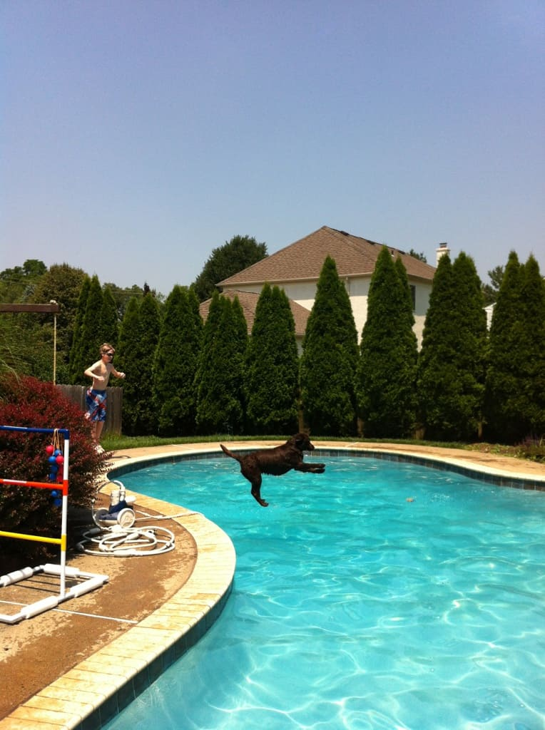 Chocolate Lab high diving into the pool- Endless Mt Labradors